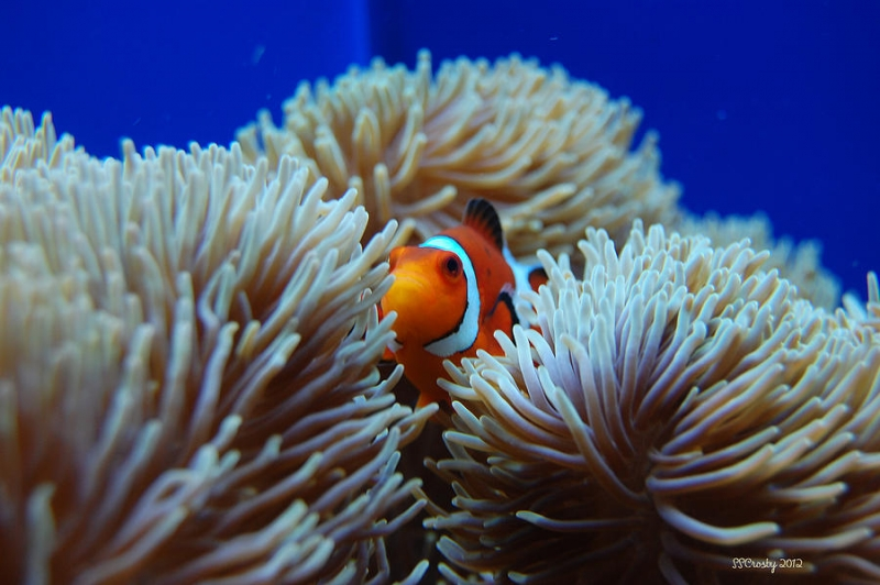 relationship between sea anemone and clownfish photo