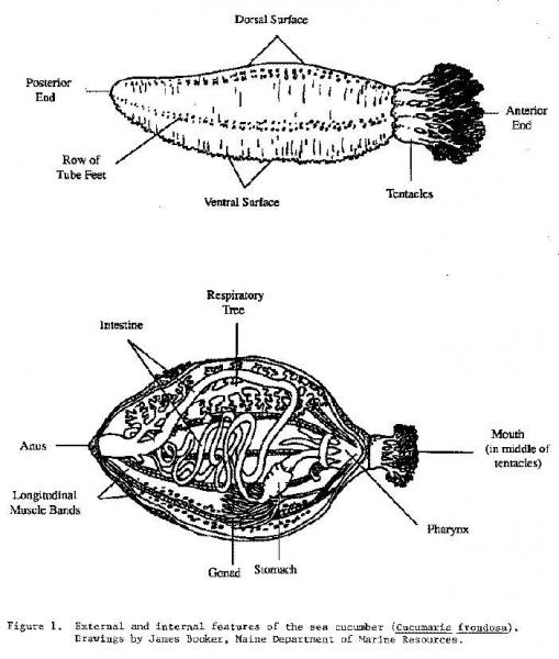 Anatomy of sea cucumber