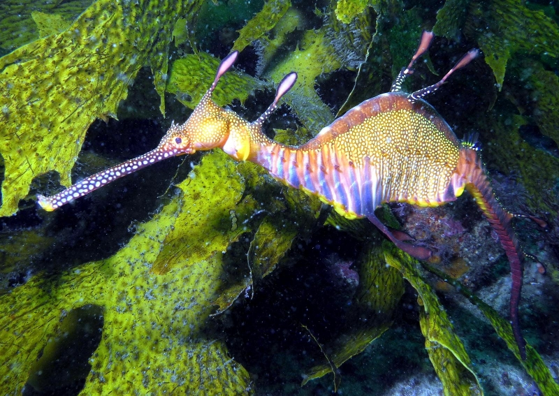 Sea Dragon