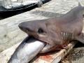 Sevengill Shark