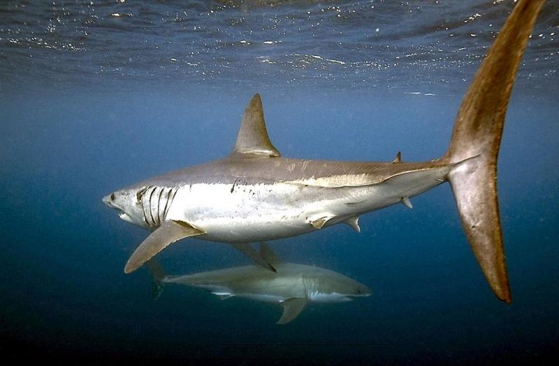 Shortfin Mako Shark  U2013  U0026quot Ocean Treasures U0026quot  Memorial Library