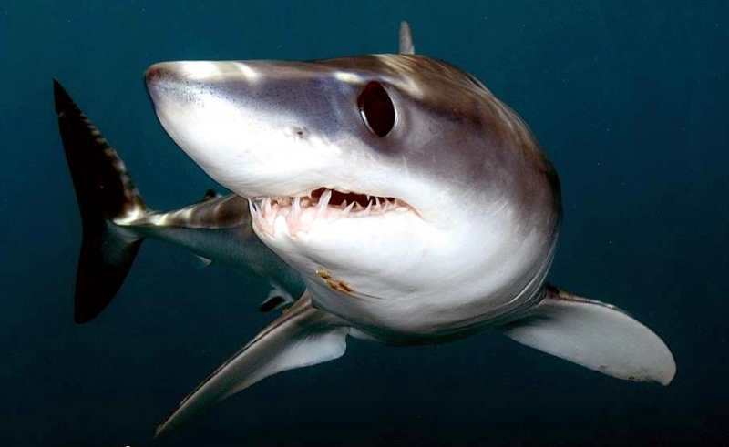 Shortfin Mako Shark Quot Ocean Treasures Quot Memorial Library