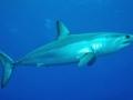 Shortfin Mako Shark