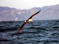 Shy Mollymawk Albatross