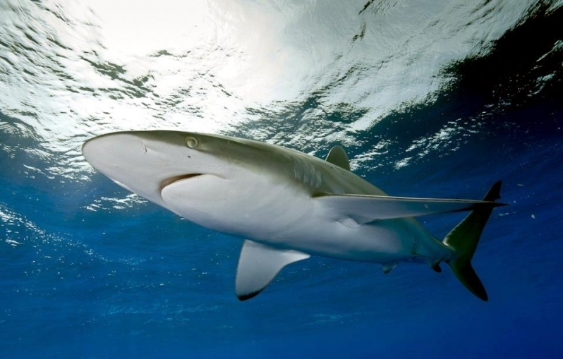 Silky Sharks in the Pacific Ocean | Alex Hofford Photography