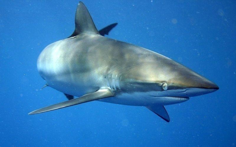 Silky Shark