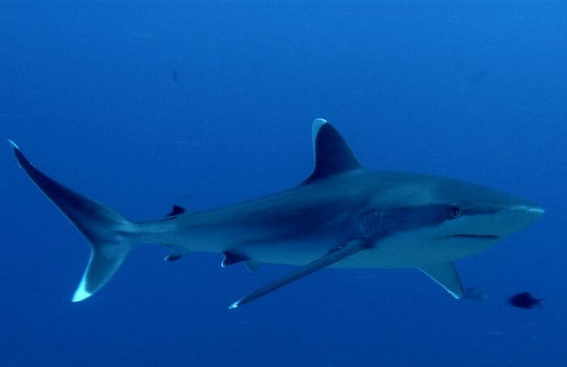 "Silvertip Shark – ""OCEAN TREASURES"" Memorial Library"