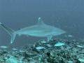Silver-Tip Shark