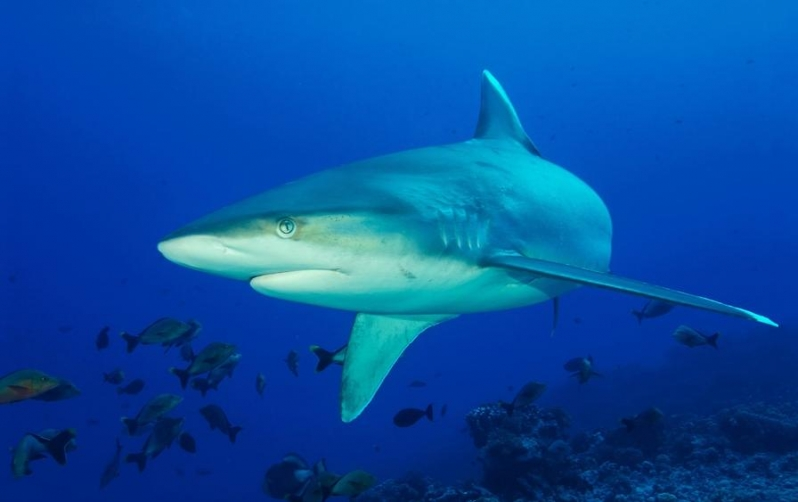 Silvertip Shark Teeth | www.imgkid.com - The Image Kid Has It!