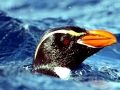 Snares-crested Penguin