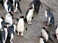 Snares-crested Penguin
