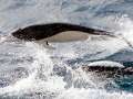 Southern Right Whale Dolphin
