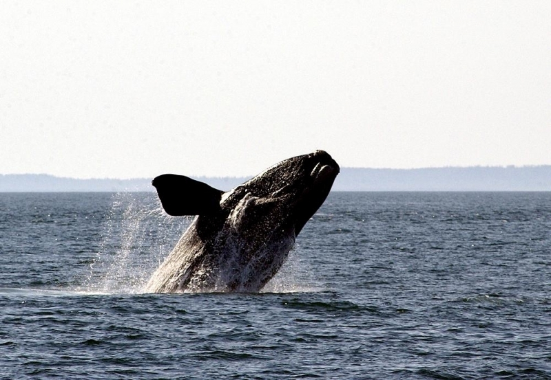 Southern Right Whale