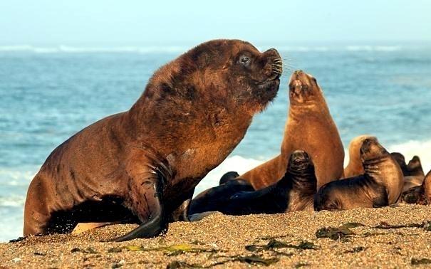 """Southern Sea Lion – """"OCEAN TREASURES"""" Memorial Library"""