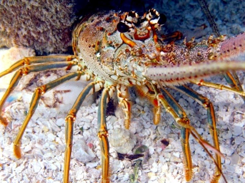 "Spiny Lobster – ""OCEAN TREASURES"" Memorial Library"