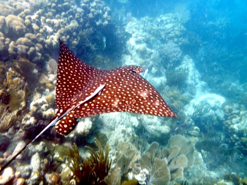 Spotted Eagle Stingray