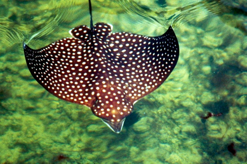 spotted eagle stingray � quotocean treasuresquot memorial library
