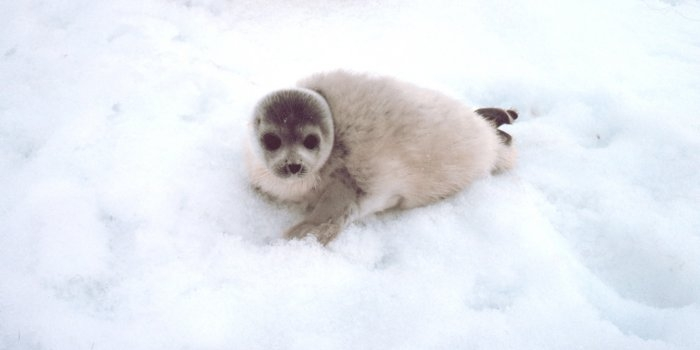 Spotted Seal