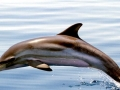 Striped Dolphin
