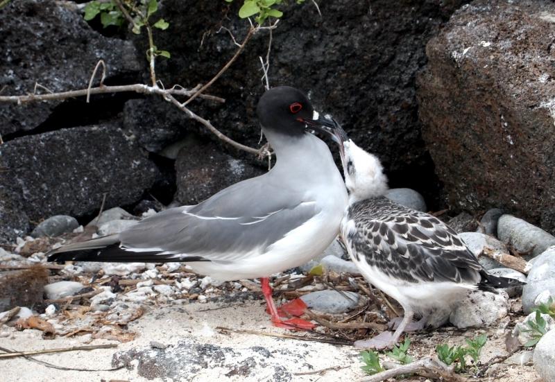 swallow-tailed-gulsls