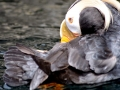 Tufted-horned Puffin