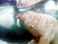 walrus014.jpg