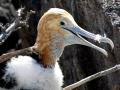 Waved Albatross