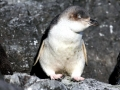 White-flippered Penguin