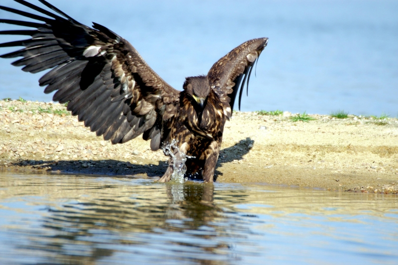 White-tailed Sea Hawk