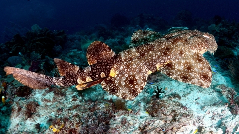Wobbegong Shark Quot Ocean Treasures Quot Memorial Library