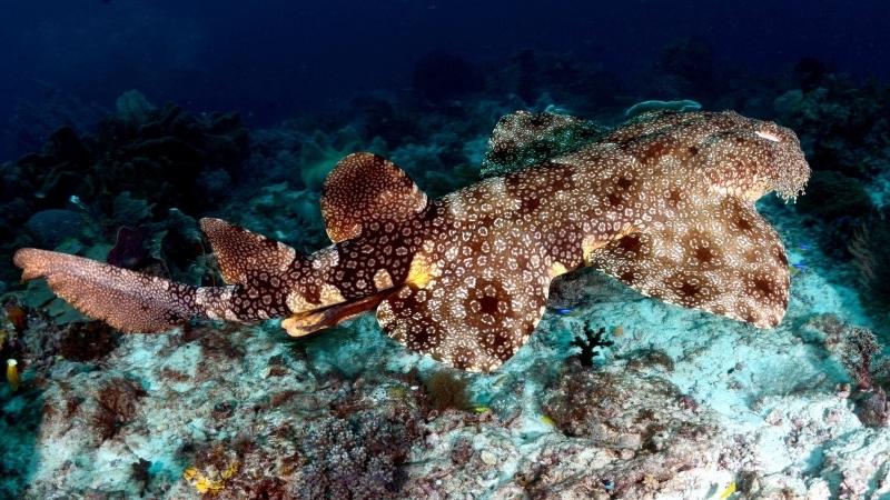 Wobbegong Shark Quot Ocean Treasures Quot Memorial Library