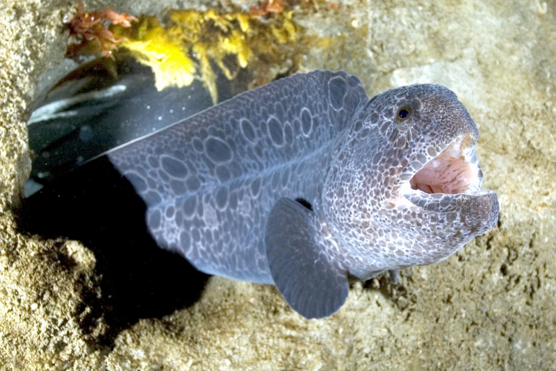 aed2b5445 Wolf Eel –