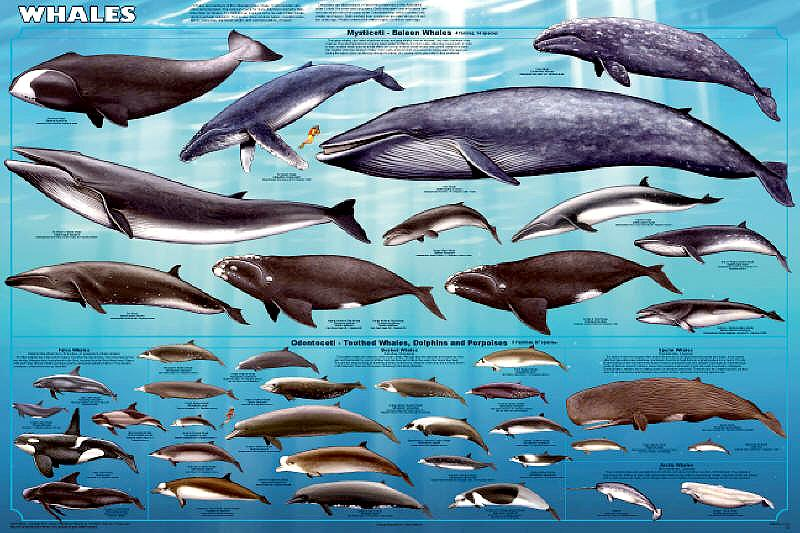 "CETACEANS – ""OCEAN TREASURES"" Memorial Library"