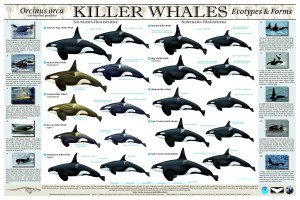 Catalog of differing Orcinus orca 'Killer Whale' Ecotypes & Forms