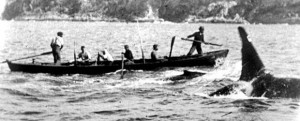 """Photograph of """"Old Tom"""" with the Eden whalers"""
