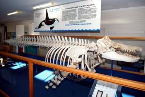 "Skeleton of ""Old Tom"" at the Eden Killer Whale Museum"
