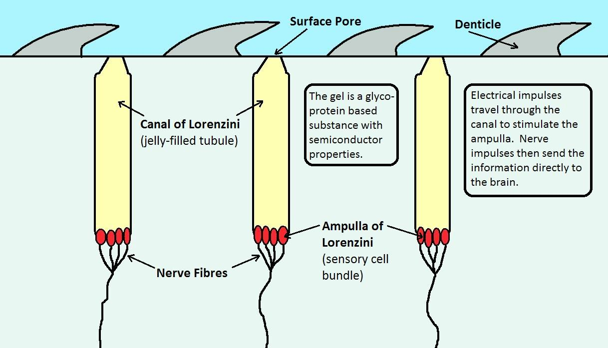 Shark Ampullae Of Lorenzini Diagram - Auto Electrical Wiring Diagram •