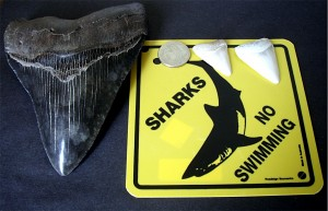 Megalodon_tooth_great_white_shark_teeth