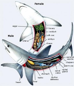 il-shark-anatomy