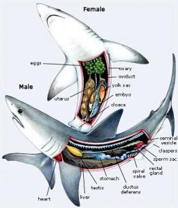 il-shark-anatomy