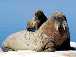 walrus-mother-and-calf_9025_600x450