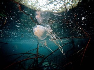 box-jellyfish_482_600x450