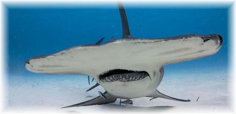 dangerous sharks eating people wwwpixsharkcom images
