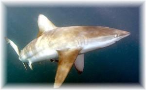 Bronze-Whaler-Shark-Carcharhinus-brachyurus-aka-copper-shark