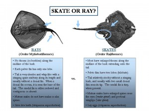 Skate or Ray