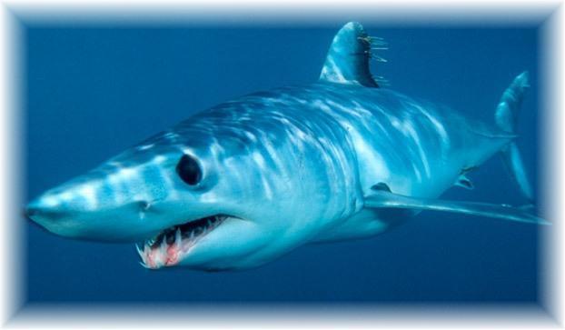 50 Amazing Shark Facts  SharkSidercom