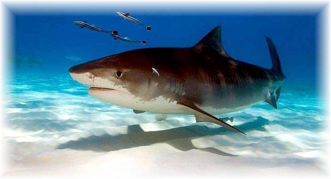 top 10 most dangerous sharks � quotocean treasuresquot memorial