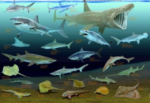 poster_sharks_and_rays