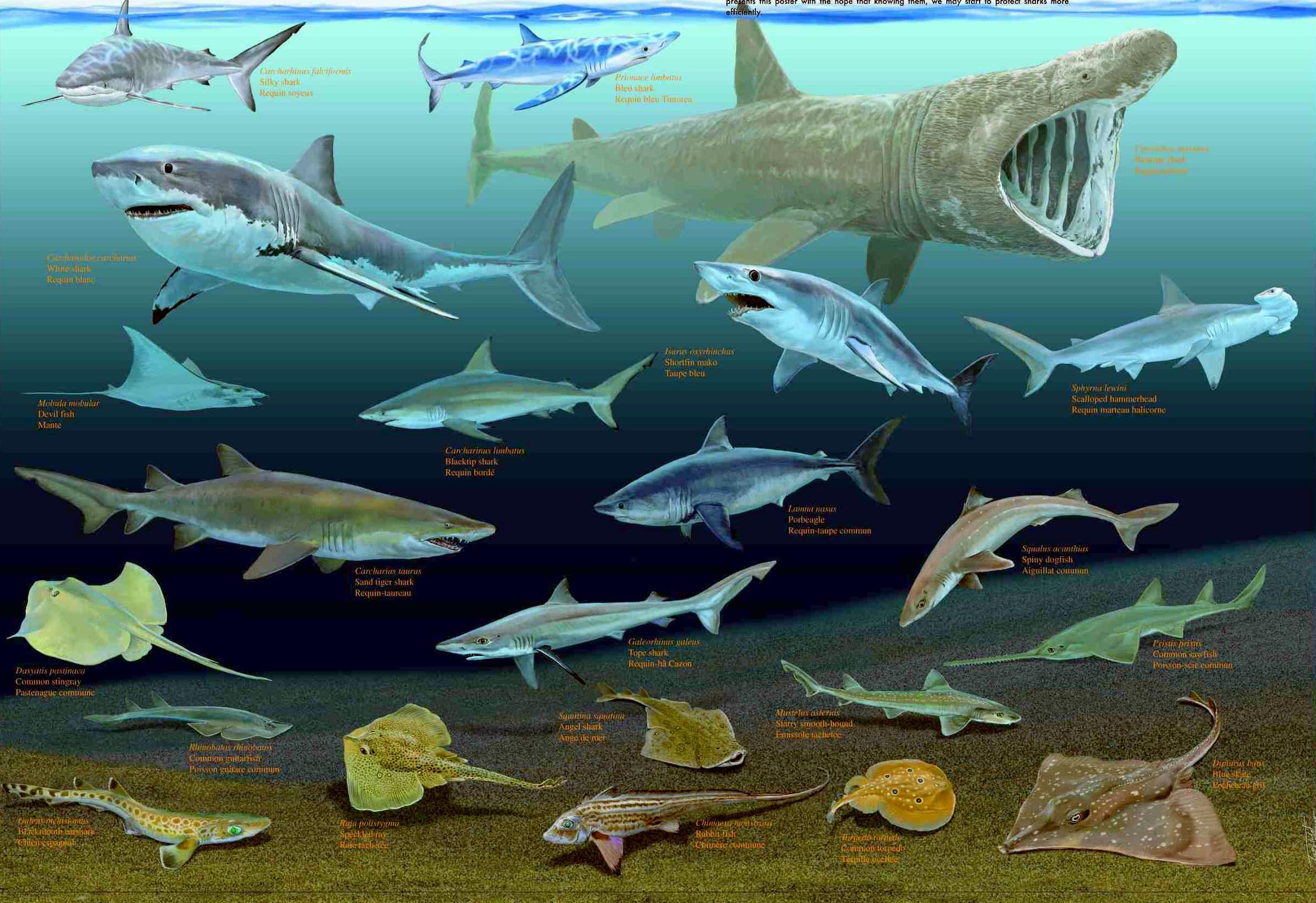 поделок макарон виды акул средиземного моря фото и название она